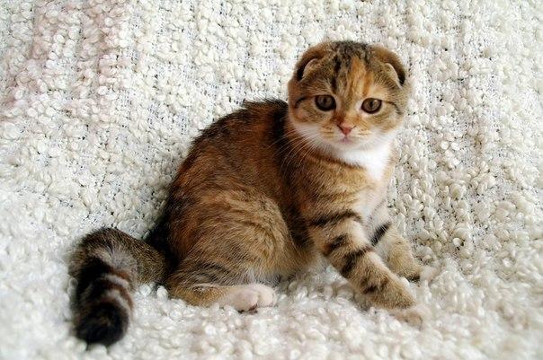 Порода кошка для ребенка