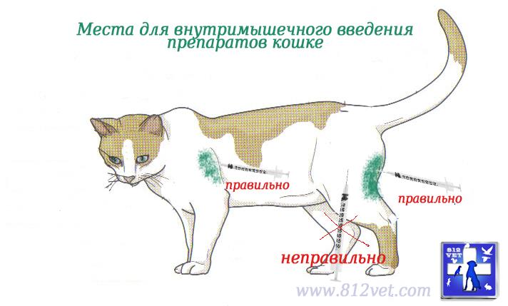 Как сделать кошке мышечный укол