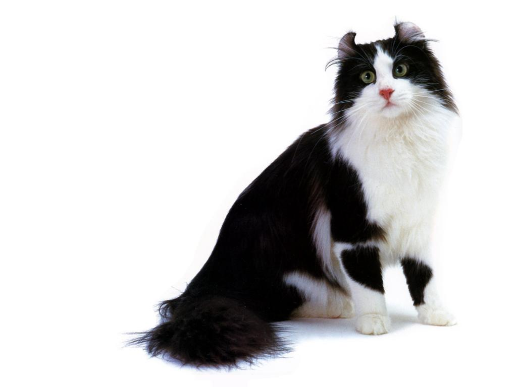 CATS PICTURES.ORG 128 1024x768 americancurl whitehair blackhair pinknose greeneyes sitting