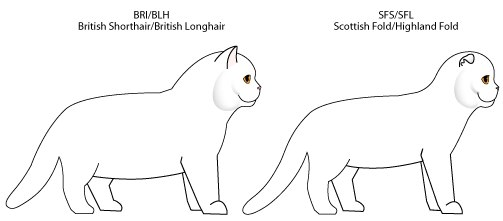 чем отличаются кошки британцы от шотландцев фото