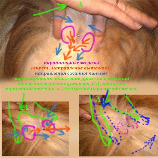 Абсцесс параанальной железы