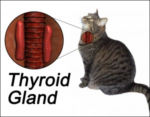 thyroid disease in cats