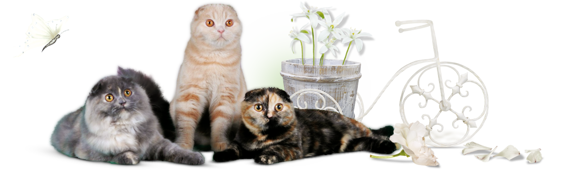 О питомнике - питомник шотландских кошек в ярославле аншлаг